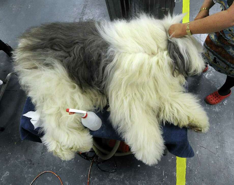 DJ the Old English Sheepdog is groomed  backstage during the 135th Westminster Kennel Club Dog Show at Madison Square Garden in New York, February 14, 2011. AFP  PHOTO / TIMOTHY A. CLARY (Photo credit should read TIMOTHY A. CLARY/AFP/Getty Images) Photo: TIMOTHY A. CLARY