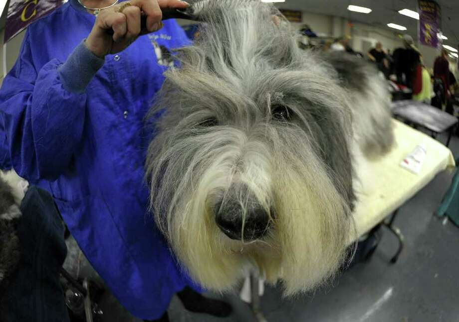 Gail Bodisch grooms Jordan the Old English Sheepdog  backstage during the 135th Westminster Kennel Club Dog Show at Madison Square Garden in New York, February 14, 2011. AFP  PHOTO / TIMOTHY A. CLARY (Photo credit should read TIMOTHY A. CLARY/AFP/Getty Images) Photo: TIMOTHY A. CLARY
