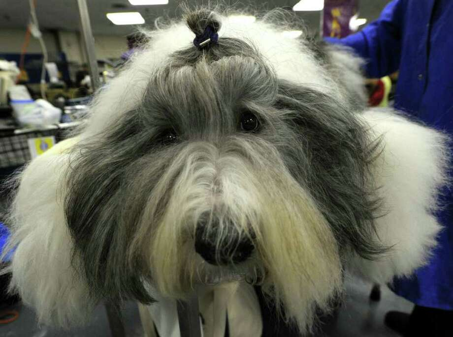 Jordan the Old English Sheepdog is groomed backstage during the 135th Westminster Kennel Club Dog Show at Madison Square Garden in New York, February 14, 2011. AFP  PHOTO / TIMOTHY A. CLARY (Photo credit should read TIMOTHY A. CLARY/AFP/Getty Images) Photo: TIMOTHY A. CLARY