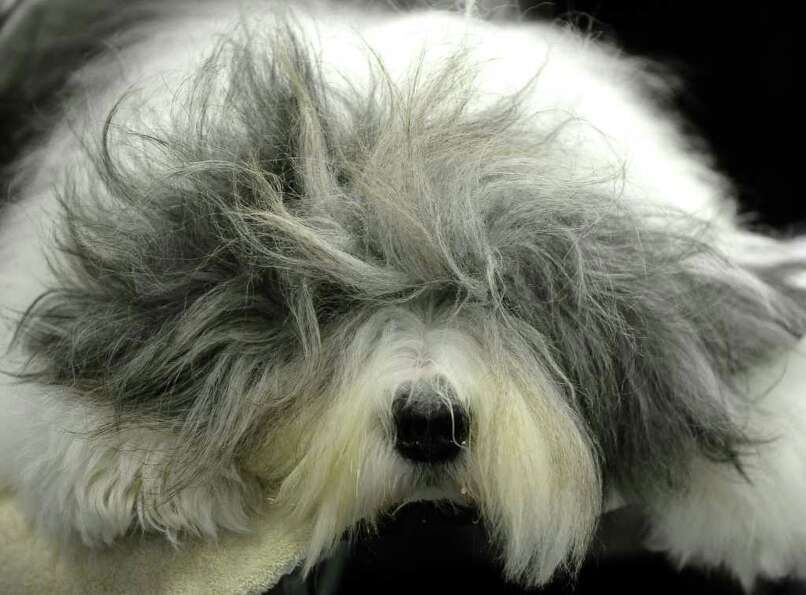 Jordan the Old English Sheepdog is groomed  backstage during the 135th Westminster Kennel Club Dog S