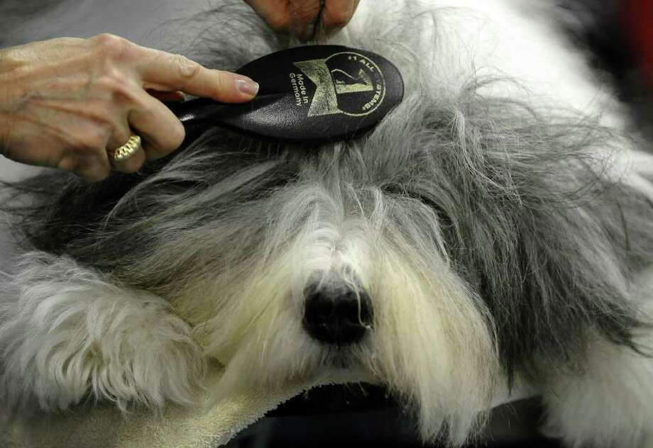 Jordan the Old English Sheepdog getting groomed by owner Gail Bodisch backstage during the 135th Westminster Kennel Club Dog Show at Madison Square Garden in New York, February 14, 2011. AFP  PHOTO / TIMOTHY A. CLARY (Photo credit should read TIMOTHY A. CLARY/AFP/Getty Images) Photo: TIMOTHY A. CLARY