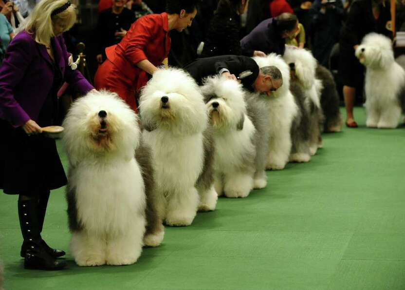 Old English Sheepdogs line up for judging during the 135th Westminster Kennel Club Dog Show at Madis