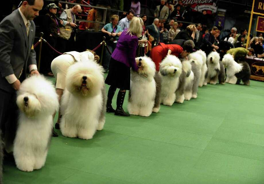 Old English Sheepdogs line up for judging during the 135th Westminster Kennel Club Dog Show at Madison Square Garden in New York, February 14, 2011. AFP  PHOTO / TIMOTHY A. CLARY (Photo credit should read TIMOTHY A. CLARY/AFP/Getty Images) Photo: TIMOTHY A. CLARY