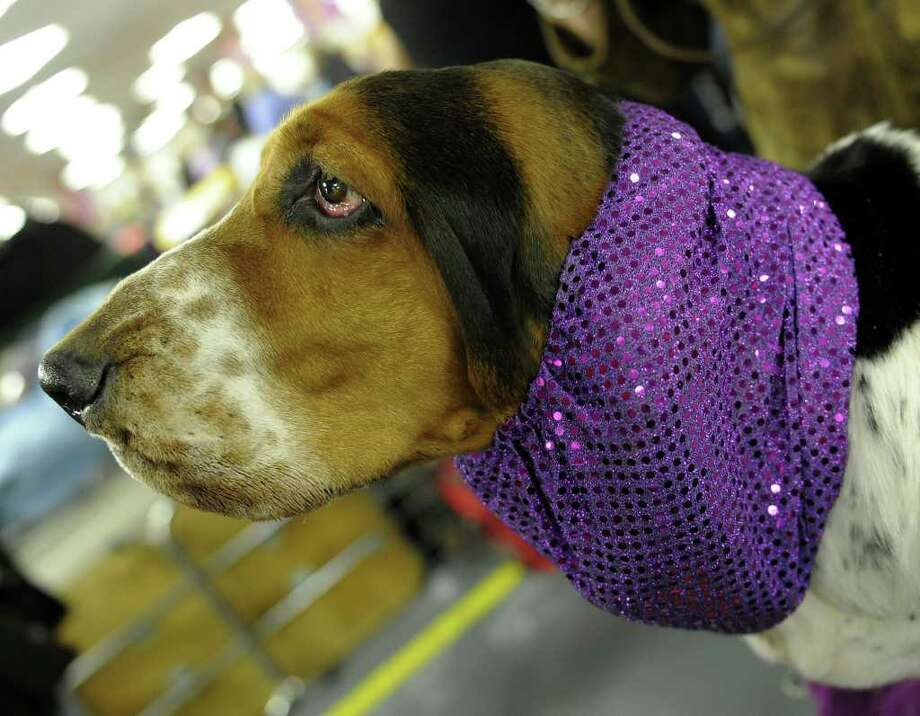 A Basset Hound backstage during the 135th Westminster Kennel Club Dog Show at Madison Square Garden in New York, February 14, 2011. AFP  PHOTO / TIMOTHY A. CLARY (Photo credit should read TIMOTHY A. CLARY/AFP/Getty Images) Photo: TIMOTHY A. CLARY