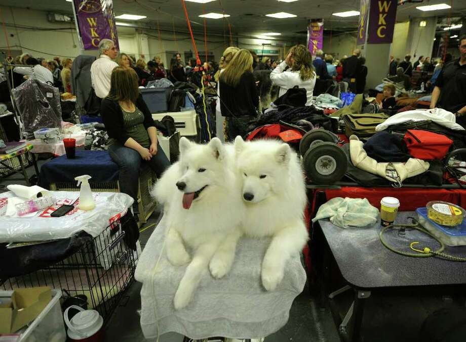 Two Samoyeds getting groomed in the benching area during the 135th Westminster Kennel Club Dog Show at Madison Square Garden in New York, February 15, 2011. AFP  PHOTO / TIMOTHY A. CLARY (Photo credit should read TIMOTHY A. CLARY/AFP/Getty Images) Photo: TIMOTHY A. CLARY