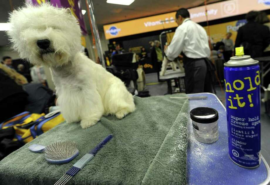 A West Highland White Terrier in the benching area during the 135th Westminster Kennel Club Dog Show at Madison Square Garden in New York, February 15, 2011. AFP  PHOTO / TIMOTHY A. CLARY (Photo credit should read TIMOTHY A. CLARY/AFP/Getty Images) Photo: TIMOTHY A. CLARY