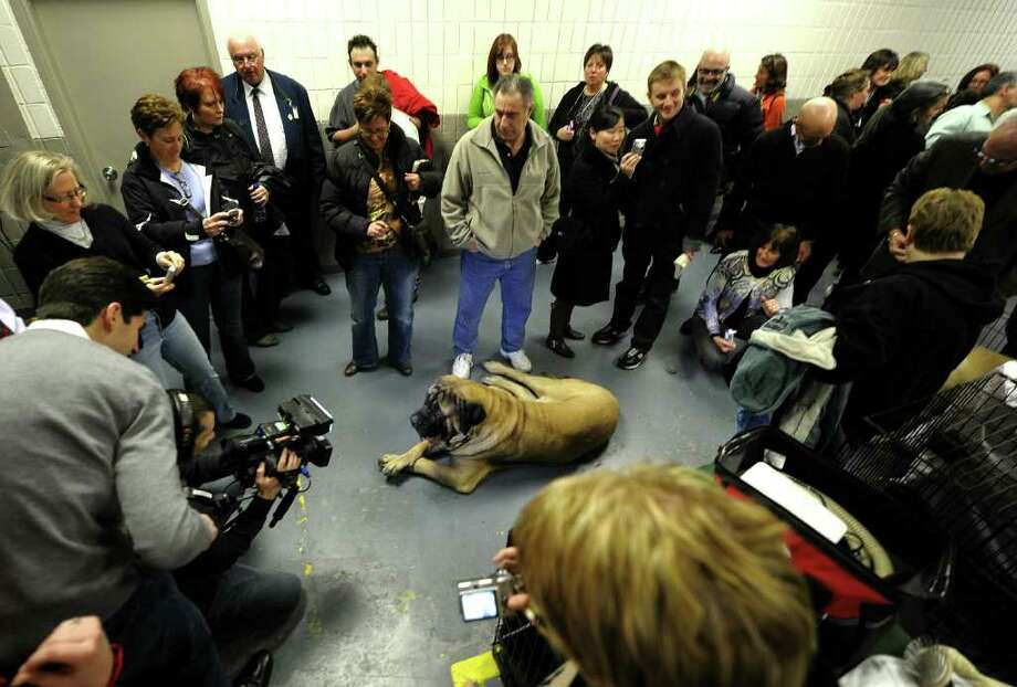 People gather around an English Mastiff in the staging area during the 135th Westminster Kennel Club Dog Show at Madison Square Garden in New York, February 15, 2011. AFP  PHOTO / TIMOTHY A. CLARY (Photo credit should read TIMOTHY A. CLARY/AFP/Getty Images) Photo: TIMOTHY A. CLARY