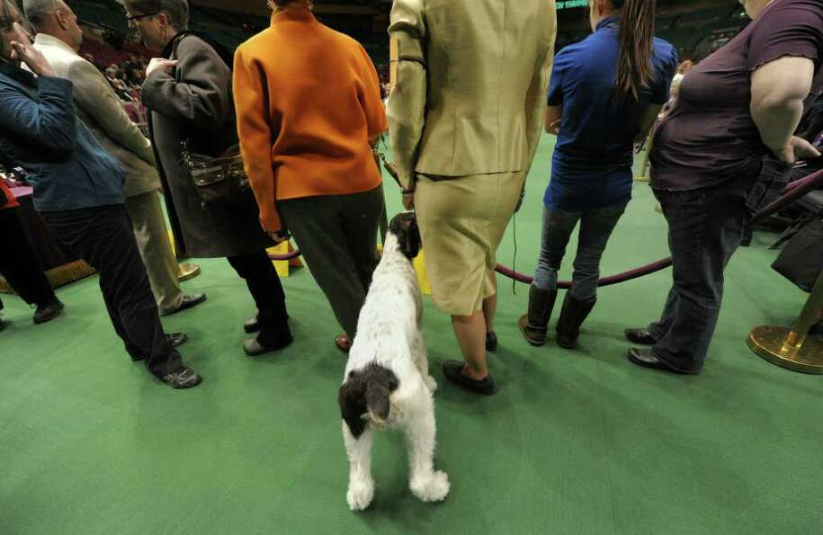 A dog waits to go in the ring during the 135th Westminster Kennel Club Dog Show at Madison Square Ga