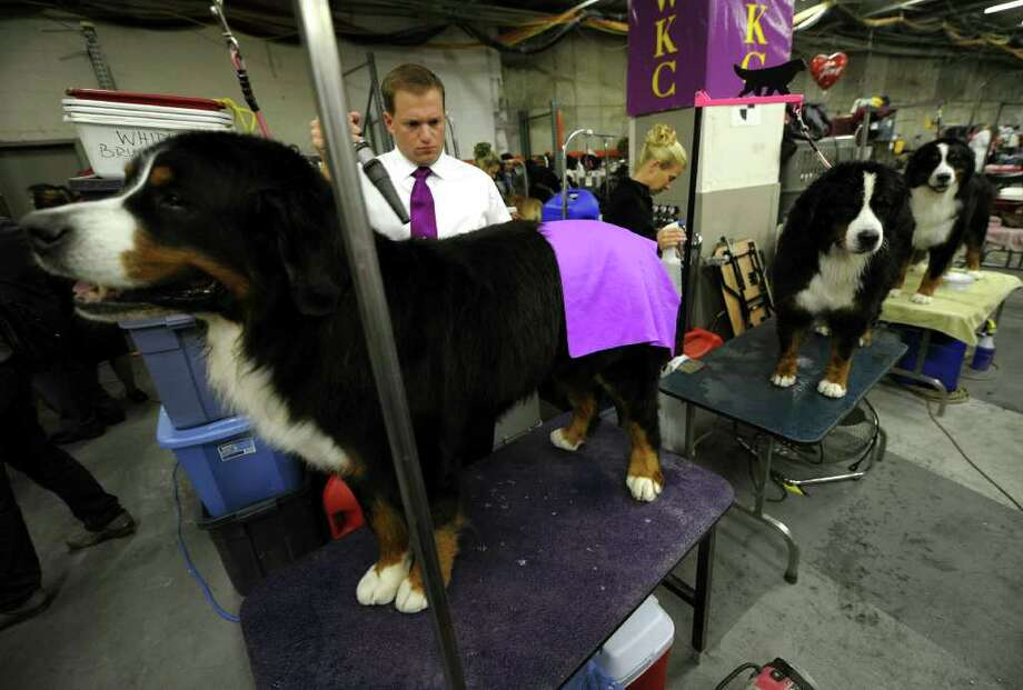 Bernese Mountain Dogs are groomed during the 135th Westminster Kennel Club Dog Show at Madison Square Garden in New York, February 15, 2011. AFP  PHOTO / TIMOTHY A. CLARY (Photo credit should read TIMOTHY A. CLARY/AFP/Getty Images) Photo: TIMOTHY A. CLARY