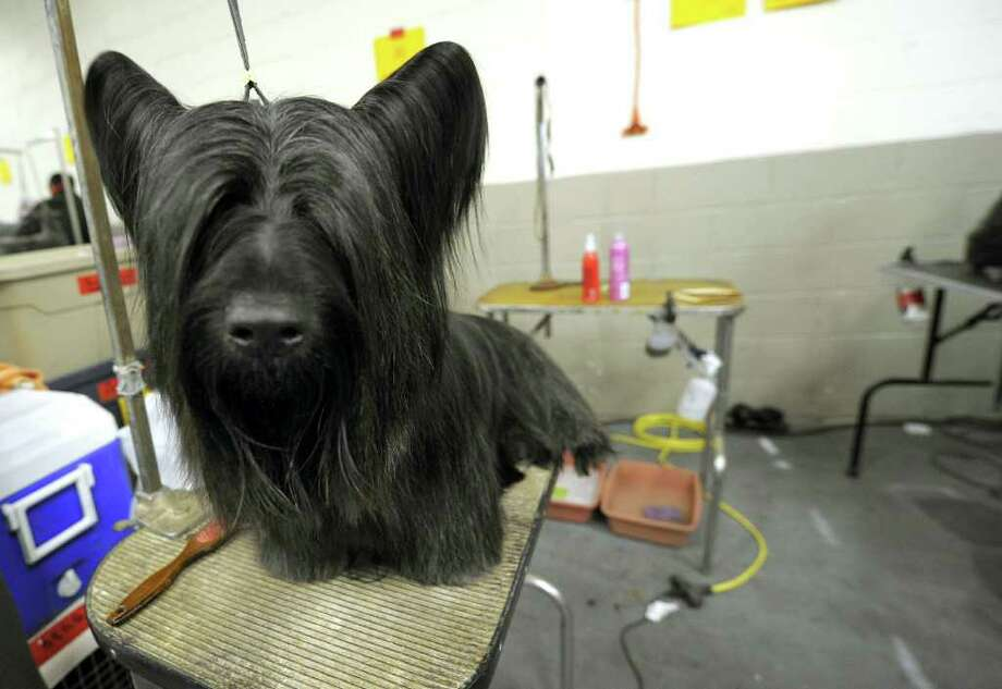 A Skye Terrier  gets groomed during the 135th Westminster Kennel Club Dog Show at Madison Square Garden in New York, February 15, 2011. The show, one of the most prestigious dog shows in the world, is being held on February 14-15. Over 2,000 dogs will be competing in this year's show which will also include six new breeds to the competition.AFP  PHOTO / TIMOTHY A. CLARY (Photo credit should read TIMOTHY A. CLARY/AFP/Getty Images) Photo: TIMOTHY A. CLARY