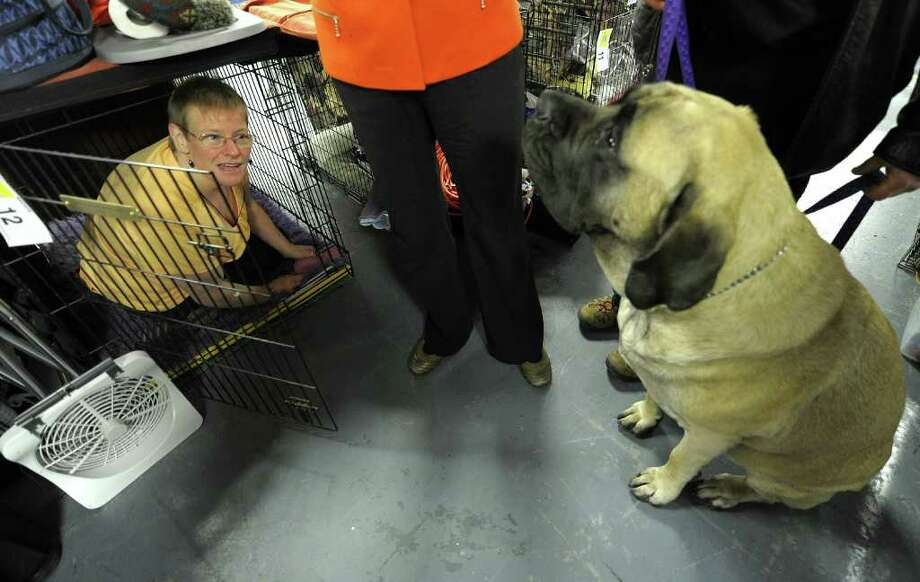 Vera Hueg looks at her Bullmastiff Tessa from inside a dog cage during the 135th Westminster Kennel Club Dog Show at Madison Square Garden in New York, February 15, 2011. The show, one of the most prestigious dog shows in the world, is being held on February 14-15. Over 2,000 dogs will be competing in this year's show which will also include six new breeds to the competition. AFP  PHOTO / TIMOTHY A. CLARY (Photo credit should read TIMOTHY A. CLARY/AFP/Getty Images) Photo: TIMOTHY A. CLARY