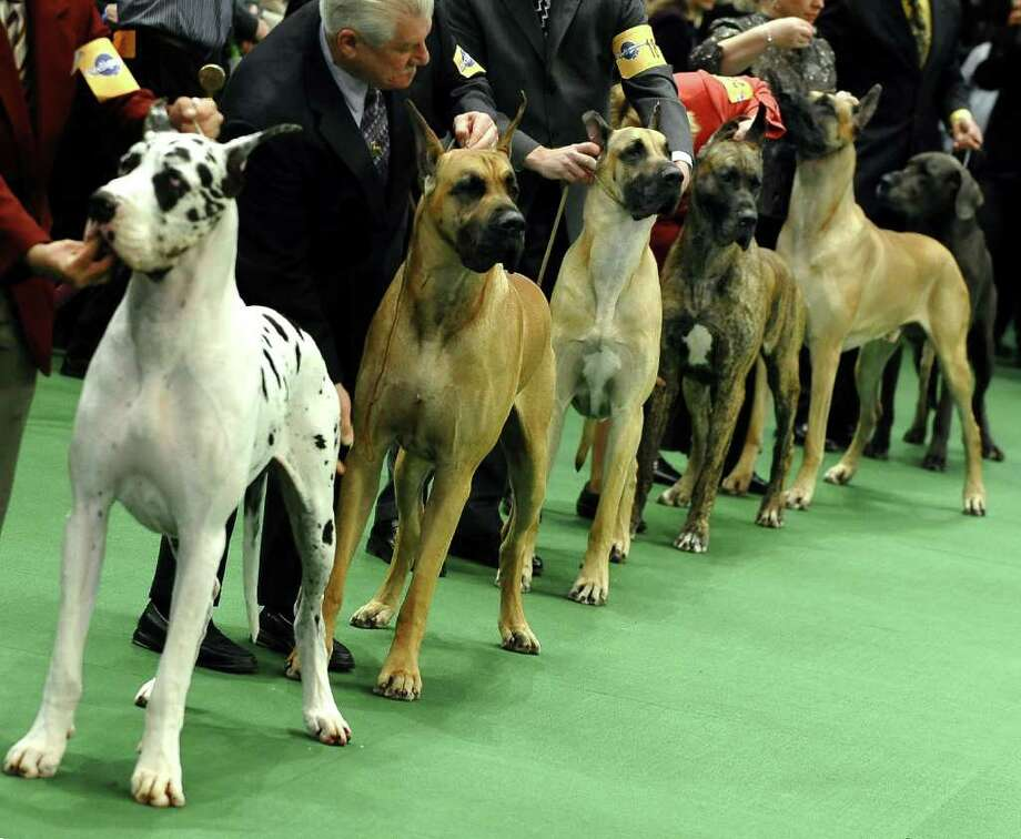 Great Danes line up in the ring during the 135th Westminster Kennel Club Dog Show at Madison Square Garden in New York, February 15, 2011. The show, one of the most prestigious dog shows in the world, is being held on February 14-15. Over 2,000 dogs will be competing in this year's show which will also include six new breeds to the competition. AFP  PHOTO / TIMOTHY A. CLARY (Photo credit should read TIMOTHY A. CLARY/AFP/Getty Images) Photo: TIMOTHY A. CLARY