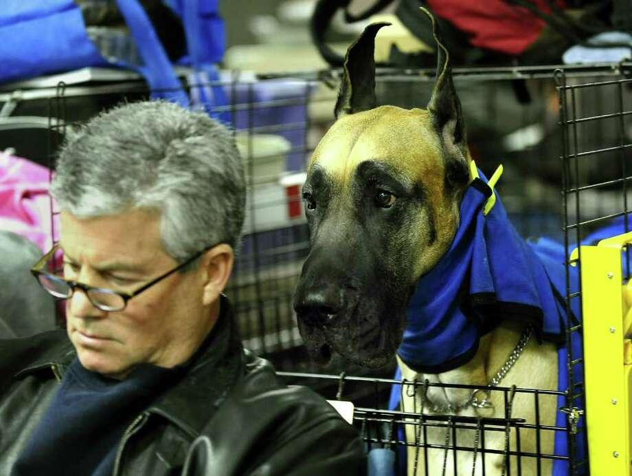 Ken Rodeman and Sebastian the Great Dane during the 135th Westminster Kennel Club Dog Show at Madison Square Garden in New York, February 15, 2011. The show, one of the most prestigious dog shows in the world, is being held on February 14-15. Over 2,000 dogs will be competing in this year's show which will also include six new breeds to the competition.  AFP  PHOTO / TIMOTHY A. CLARY (Photo credit should read TIMOTHY A. CLARY/AFP/Getty Images) Photo: TIMOTHY A. CLARY