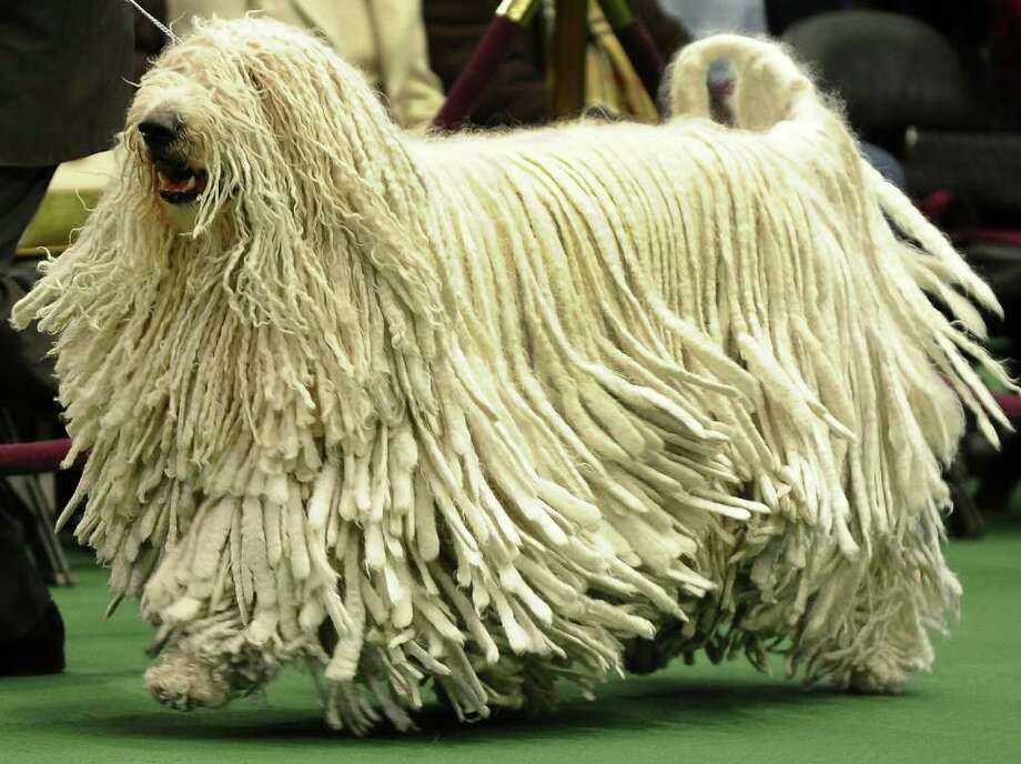 A Komondorak in the ring during the 135th Westminster Kennel Club Dog Show at Madison Square Garden in New York, February 15, 2011. The show, one of the most prestigious dog shows in the world, is being held on February 14-15. Over 2,000 dogs will be competing in this year's show which will also include six new breeds to the competition.  AFP  PHOTO / TIMOTHY A. CLARY (Photo credit should read TIMOTHY A. CLARY/AFP/Getty Images) Photo: TIMOTHY A. CLARY