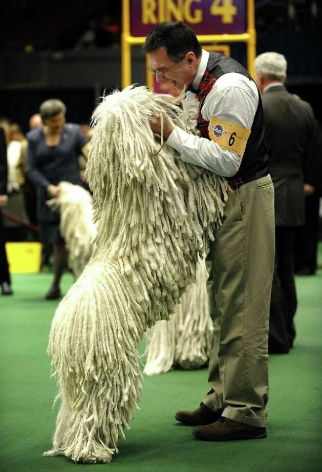 Joe Horvat and Yoshi the Komondorak in the ring  during the 135th Westminster Kennel Club Dog Show at Madison Square Garden in New York, February 15, 2011. The show, one of the most prestigious dog shows in the world, is being held on February 14-15. Over 2,000 dogs will be competing in this year's show which will also include six new breeds to the competition.  AFP  PHOTO / TIMOTHY A. CLARY (Photo credit should read TIMOTHY A. CLARY/AFP/Getty Images) Photo: TIMOTHY A. CLARY