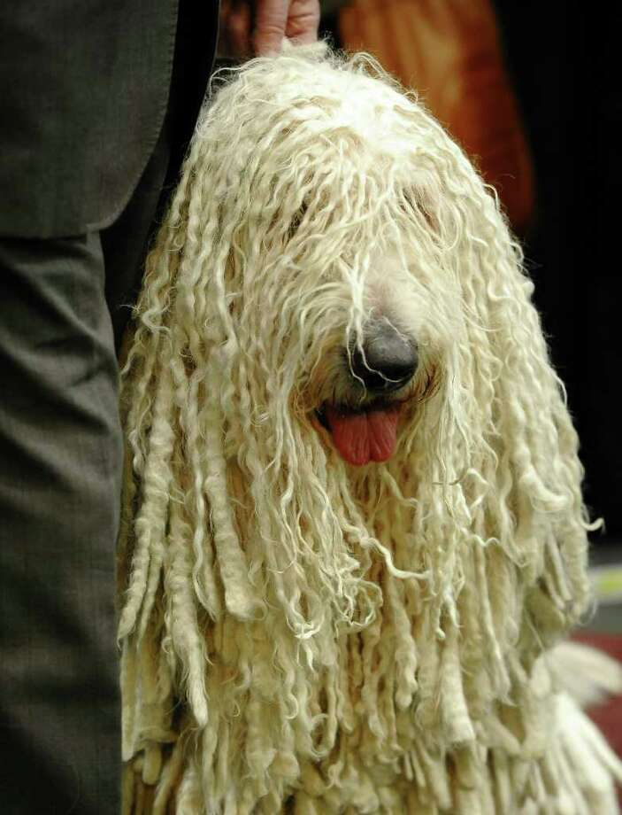 Komondoraks wait to go in the ring  during the 135th Westminster Kennel Club Dog Show at Madison Square Garden in New York, February 15, 2011. The show, one of the most prestigious dog shows in the world, is being held on February 14-15. Over 2,000 dogs will be competing in this year's show which will also include six new breeds to the competition.  AFP  PHOTO / TIMOTHY A. CLARY (Photo credit should read TIMOTHY A. CLARY/AFP/Getty Images) Photo: TIMOTHY A. CLARY