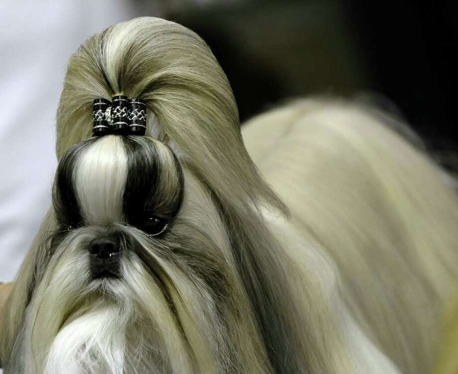 A Shih Tzu is groomed backstage during the 135th Westminster Kennel Club Dog Show at Madison Square Garden in New York, February 14, 2011.           TOPSHOTS/AFP  PHOTO/TIMOTHY A. CLARY (Photo credit should read TIMOTHY A. CLARY/AFP/Getty Images) Photo: TIMOTHY A. CLARY