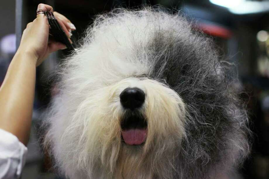 NEW YORK, NY - FEBRUARY 14:  An Old English Sheepdog is prepped for competition at the Westminster Kennel Club Dog Show at Madison Square Garden on February 14, 2011 in New York City. The show, one of the most prestigious dog shows in the world, is being held on February 14-15. Over 2,000 dogs will be competing in this year's show which will also include six new breeds to the competition.  (Photo by Spencer Platt/Getty Images)  ***BESTPIX*** Photo: Spencer Platt