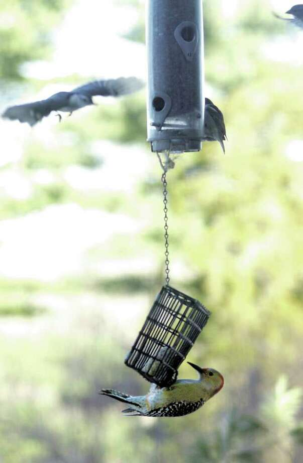 A white breasted nuthatch flies toward a feeder while a female red-bellied woodpecker works at some suet. People all over the United States and Canada will have a chance to record the birds they find at their feeders, as part of the Great Backyard Bird Count, Feb. 18-21. Photo: File Photo / Stamford Advocate File Photo