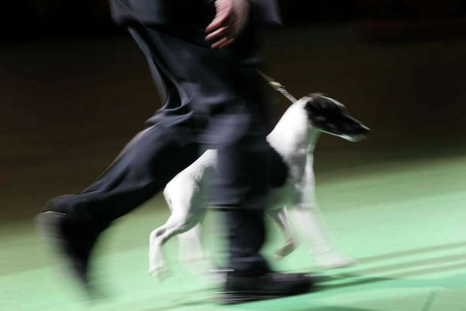 NEW YORK, NY - FEBRUARY 15:  A  Smooth Fox Terrier runs during competition at the Westminster Kennel Club Dog Show on February 15, 2011 in New York City. A Scottish Deerhound named Foxcliffe Hickory Wind won Best in Show.The show, one of the most prestigious dog shows in the world, is being held at Madison Square Garden in New York City on February 14-15. Over 2,000 dogs competed in this year's show which also included six new breeds to the competition.  (Photo by Spencer Platt/Getty Images) Photo: Spencer Platt