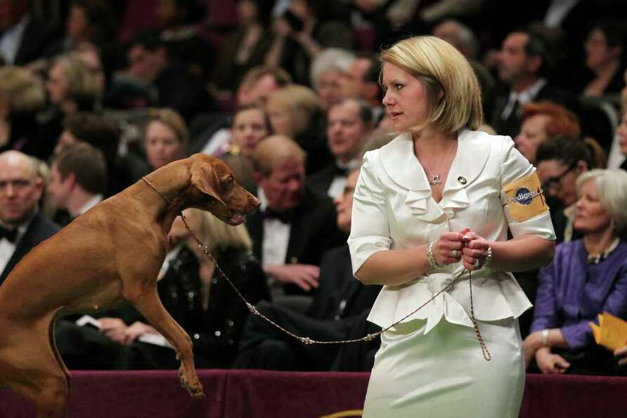 NEW YORK, NY - FEBRUARY 15:  A Vizsla sporting dog jumps during competition at the Westminster Kenne