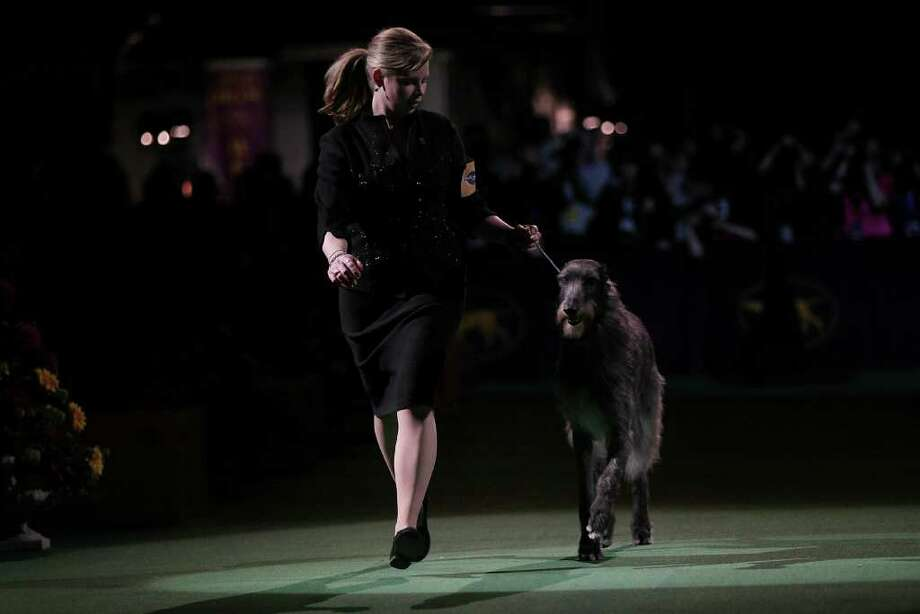NEW YORK, NY - FEBRUARY 15:  A Scottish Deerhound named Foxcliffe Hickory Wind runs with her handler Angela Lloyd before winning Best in Show at the Westminster Kennel Club Dog Show on February 15, 2011 in New York City. The show, one of the most prestigious dog shows in the world, is being held at Madison Square Garden in New York City on February 14-15. Over 2,000 dogs competed in this year's show which also included six new breeds to the competition.  (Photo by Spencer Platt/Getty Images) Photo: Spencer Platt
