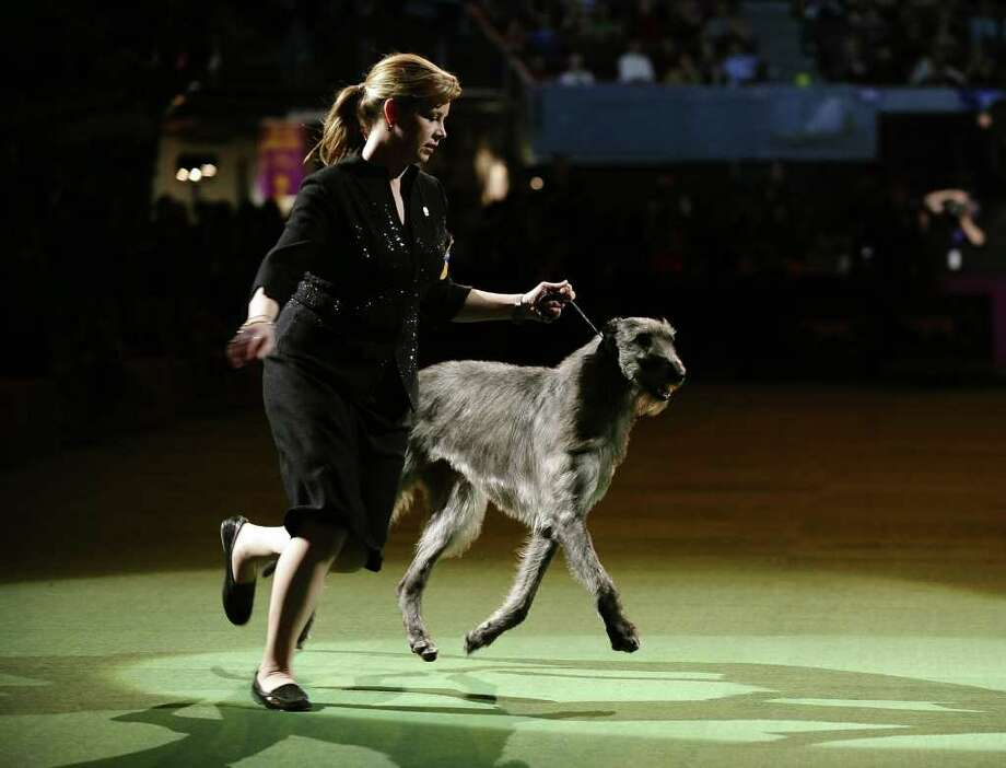Handler Angela Lloyd and Hickory the Scottish Deerhound just before winning Best in Show during the 135th Westminster Kennel Club Dog Show at Madison Square Garden in New York, February 15, 2011. . AFP  PHOTO / TIMOTHY A. CLARY (Photo credit should read TIMOTHY A. CLARY/AFP/Getty Images) Photo: TIMOTHY A. CLARY