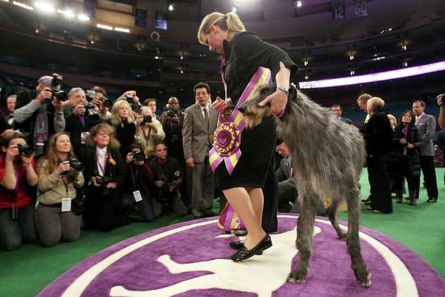 NEW YORK, NY - FEBRUARY 15:  A Scottish Deerhound named Foxcliffe Hickory Wind poses with her handle
