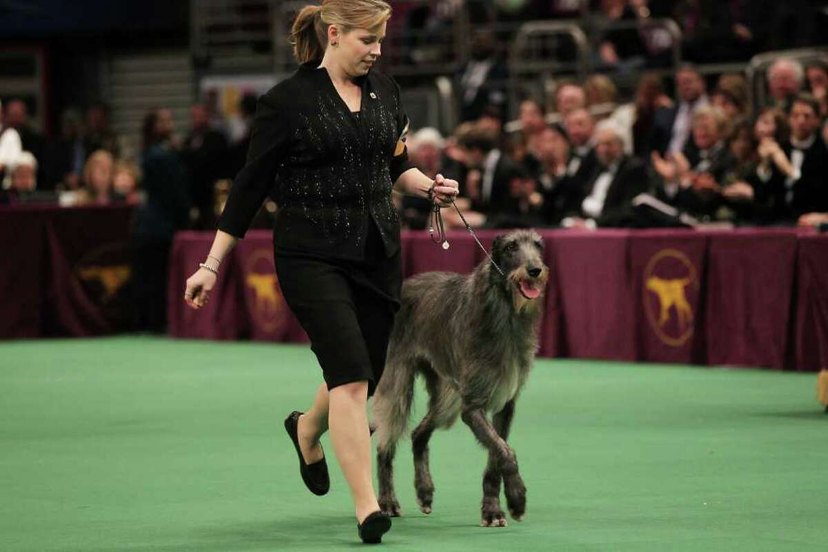 NEW YORK, NY - FEBRUARY 15: A Scottish Deerhound named Foxcliffe Hickory Wind runs with her handler Angela Lloyd before winning Best in Show at the Westminster Kennel Club Dog Show on February 15, 2011 in New York City. The show, one of the most prestigious dog shows in the world, is being held at Madison Square Garden in New York City on February 14-15. Over 2,000 dogs competed in this year's show which also included six new breeds to the competition. (Photo by Spencer Platt/Getty Images) *** Local Caption *** Angela Lloyd