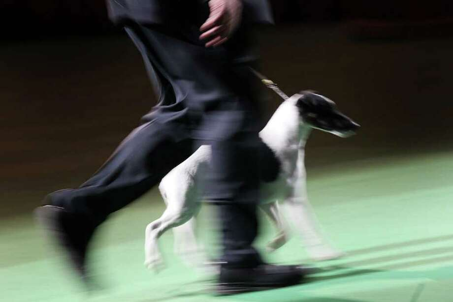 NEW YORK, NY - FEBRUARY 15:  A  Smooth Fox Terrier runs during competition at the Westminster Kennel Club Dog Show on February 15, 2011 in New York City. A Scottish Deerhound named Foxcliffe Hickory Wind won Best in Show.The show, one of the most prestigious dog shows in the world, is being held at Madison Square Garden in New York City on February 14-15. Over 2,000 dogs competed in this year's show which also included six new breeds to the competition.  (Photo by Spencer Platt/Getty Images) Photo: Spencer Platt, Getty Images / 2011 Getty Images