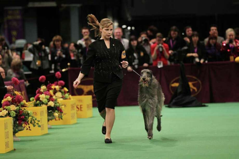 NEW YORK, NY - FEBRUARY 15: A Scottish Deerhound named Foxcliffe Hickory Wind runs with her handler Angela Lloyd before winning Best in Show at the Westminster Kennel Club Dog Show on February 15, 2011 in New York City. The show, one of the most prestigious dog shows in the world, is being held at Madison Square Garden in New York City on February 14-15. Over 2,000 dogs competed in this year's show which also included six new breeds to the competition.  (Photo by Spencer Platt/Getty Images) *** Local Caption *** Angela Lloyd Photo: Spencer Platt, Getty Images / 2011 Getty Images