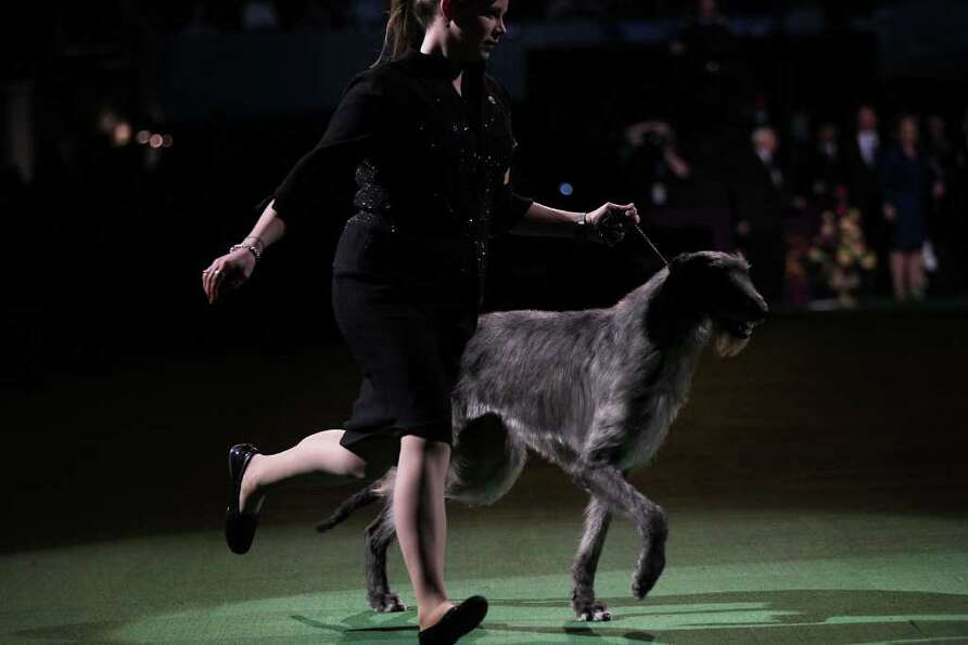 NEW YORK, NY - FEBRUARY 15:  A Scottish Deerhound named Foxcliffe Hickory Wind runs with her handler