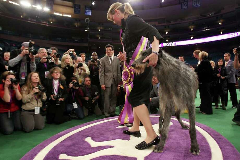 NEW YORK, NY - FEBRUARY 15: A Scottish Deerhound named Foxcliffe Hickory Wind poses with her handler Angela Lloyd after winning Best in Show at the Westminster Kennel Club Dog Show on February 15, 2011 in New York City. The show, one of the most prestigious dog shows in the world, is being held at Madison Square Garden in New York City on February 14-15. Over 2,000 dogs competed in this year's show which also included six new breeds to the competition.  (Photo by Spencer Platt/Getty Images) *** Local Caption *** Angela Lloyd Photo: Spencer Platt, Getty Images / 2011 Getty Images