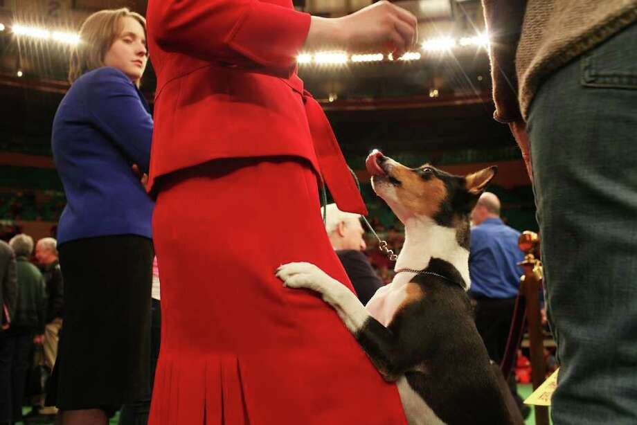 NEW YORK, NY - FEBRUARY 14: A Basenji named Abby gets a treat before competition at the Westminster Kennel Club Dog Show at Madison Square Garden on February 14, 2011 in New York City. The show, one of the most prestigious dog shows in the world, is being held on February 14-15. Over 2,000 dogs will be competing in this year's show which will also include six new breeds to the competition.  (Photo by Spencer Platt/Getty Images) Photo: Spencer Platt, Getty Images / 2011 Getty Images