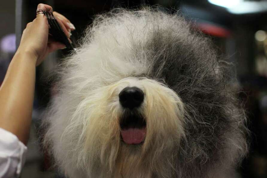 NEW YORK, NY - FEBRUARY 14:  An Old English Sheepdog is prepped for competition at the Westminster K