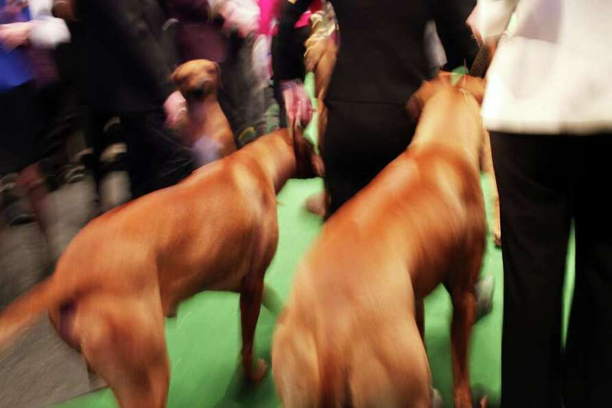 NEW YORK, NY - FEBRUARY 14: Rhodesian Ridgebacks prepare to go into the ring at the Westminster Kenn