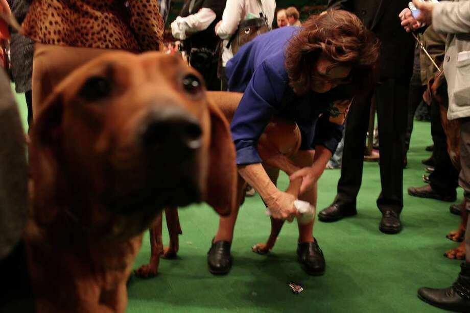NEW YORK, NY - FEBRUARY 14:  Rhodesian Ridgebacks prepare to go into the ring at the Westminster Kennel Club Dog Show at Madison Square Garden on February 14, 2011 in New York City. The show, one of the most prestigious dog shows in the world, is being held on February 14-15. Over 2,000 dogs will be competing in this year's show which will also include six new breeds to the competition.  (Photo by Spencer Platt/Getty Images) Photo: Spencer Platt, Getty Images / 2011 Getty Images