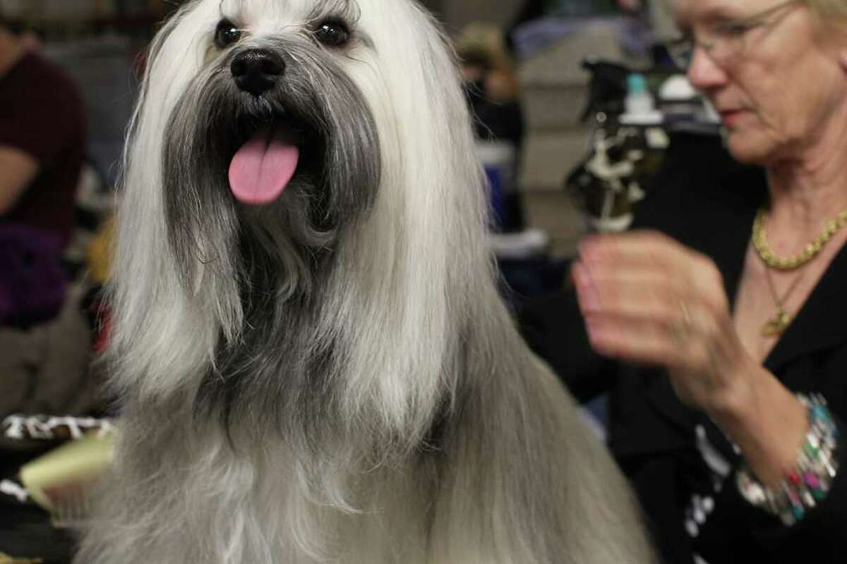 NEW YORK, NY - FEBRUARY 14: A Havanese named Tafty is prepared for competition at the Westminster Kennel Club Dog Show at Madison Square Garden on February 14, 2011 in New York City. The show, one of the most prestigious dog shows in the world, is being held on February 14-15. Over 2,000 dogs will be competing in this year's show which will also include six new breeds to the competition. (Photo by Spencer Platt/Getty Images)
