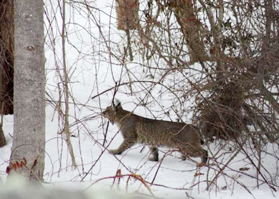 A bobcat was spotted on Feb. 13, 2011, wandering around a backyard on Beardsley Road in Shelton, CT. Photo: Contributed Photo\Sherry G. Nicholson, Contributed Photo\Sherry G. Nicholson  / Connecticut Post Contributed
