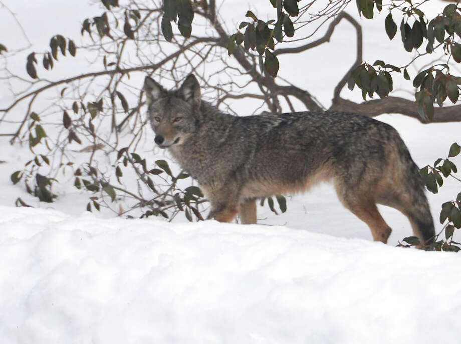 Pictured is a large coyote spotted in the front yard of a Lakewood Drive property Wednesday morning. Cathy Curley took the photo from a window of her home. Photo: Contributed Photo / Fairfield Citizen contributed