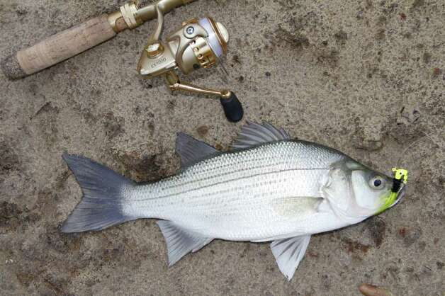 Overlooking White Bass Fishing A Bad Decision Beaumont