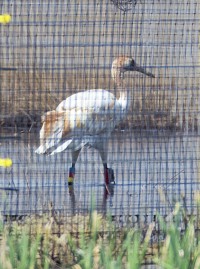 A juvenile whooping crane walks around a pen at the White Lake Wetlands Conservation Area near Gueydan, La. Photo: Houston Chronicle