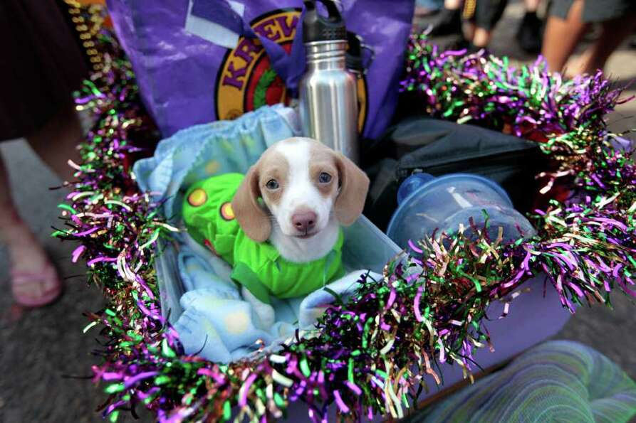 A Miniature Dachshund puppy dressed in costume is paraded through the French Quarter during the Krew