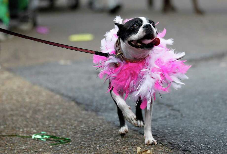 A dog dressed in costume parades through the French Quarter during the Krewe of Barkus Mardi Gras parade in New Orleans, Sunday, Feb. 27, 2011. The parade of dogs and their owners, a twist on the Krewe of Bacchus, benefits animal welfare organizations. (AP Photo/Gerald Herbert) Photo: Gerald Herbert