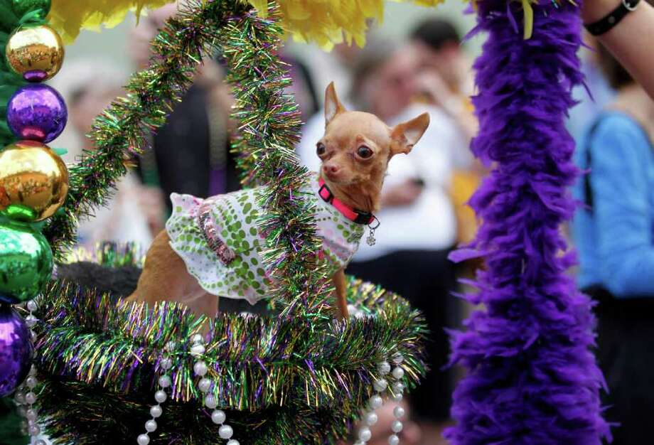 A Chihuahua dressed in costume rides in a hanging basket on a float during the Krewe of Barkus Mardi Gras parade in New Orleans, Sunday, Feb. 27, 2011. The parade of dogs and their owners, a twist on the Krewe of Bacchus, benefits animal welfare organizations. (AP Photo/Gerald Herbert) Photo: Gerald Herbert