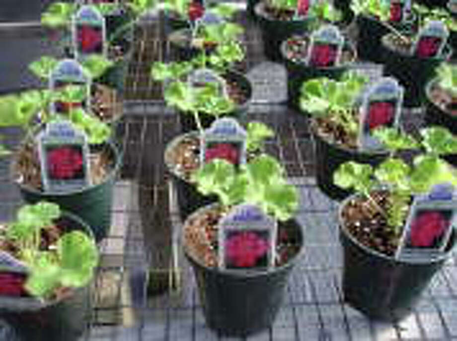 Potted seedlings such as these at Daffodil Hill Growers in Southbury will be among many items for sale Saturday, March 5, at a farmers' market on the lawn of the Pequot Library. Photo: Photo Courtesy Of Daffodil Hill Growers, Photo Courtesy Of Daffodil Hill Growers / Photo courtesy of Daffodil Hill Growers
