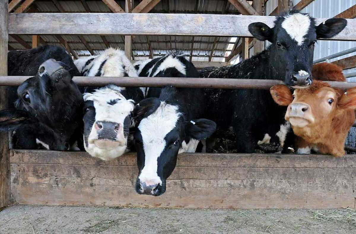 Cows are seen at a New York dairy on March 1, 2011.
