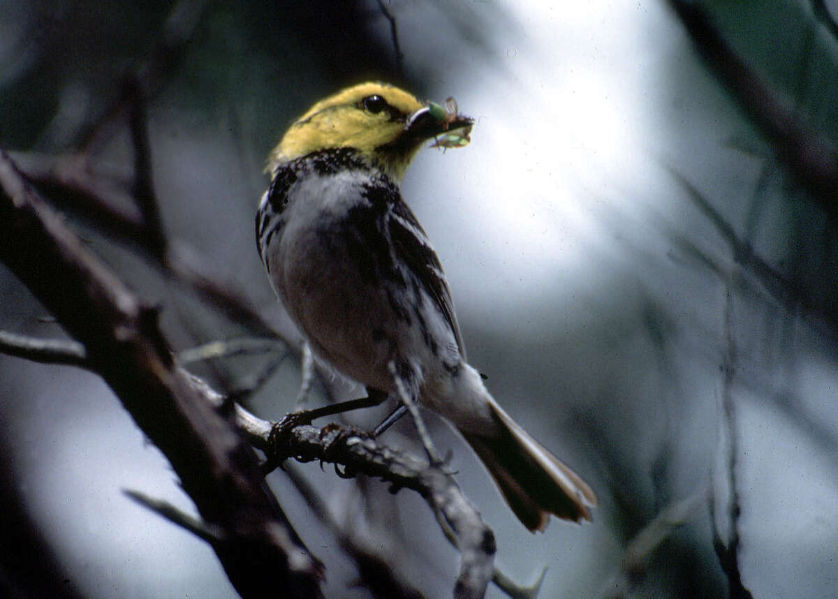 The golden-cheeked warbler, which for years has stared down the U.S. Army with the Endangered Species Act as its only weapon, would gain protected habitat.