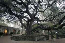 A beautiful oak tree graces the Alamo grounds near the Long Barrack. Alamo horticulturalist Mark Nauschutz says the tree was planted when it was 40 years old in 1912. JOHN DAVENPORT/jdavenport@express-news.net