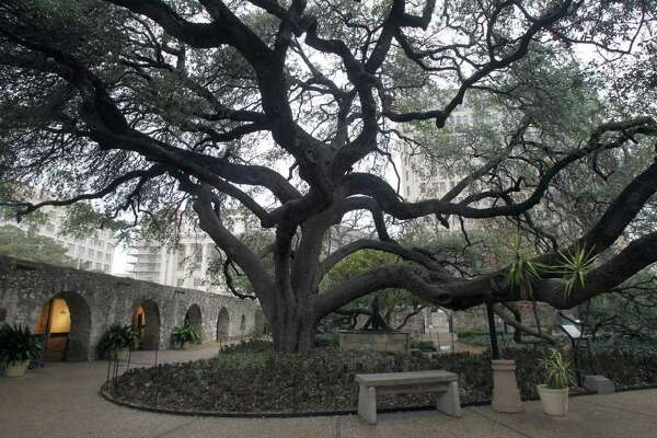 A beautiful oak tree graces the Alamo grounds near the Long Barrack. Alamo horticulturalist Mark Nauschutz says the tree was planted when it was 40 years old in 1912. JOHN DAVENPORT/jdavenport@express-news.net